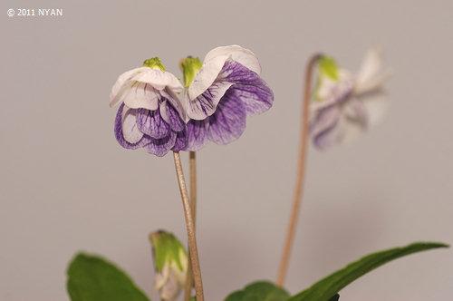 コモロスミレ(白花)