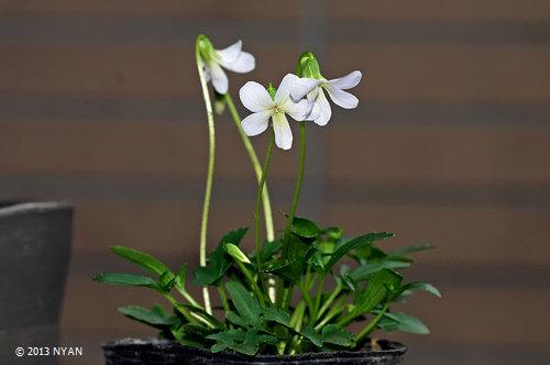 ヴィオラ・パルマータ(白花)