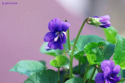 ヴィオラ・ソロリア(八重咲き)