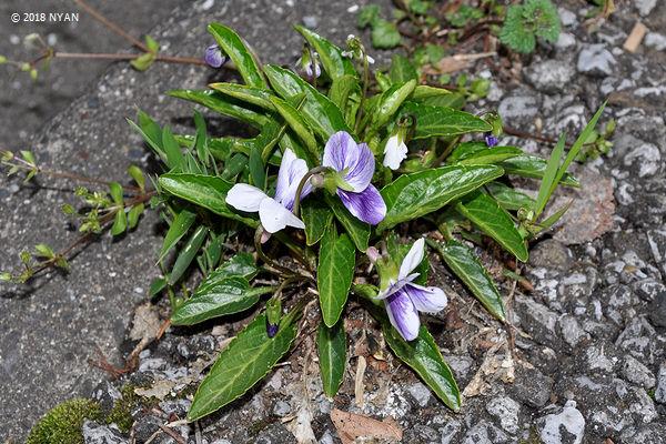アツバスミレ(二色咲き型)