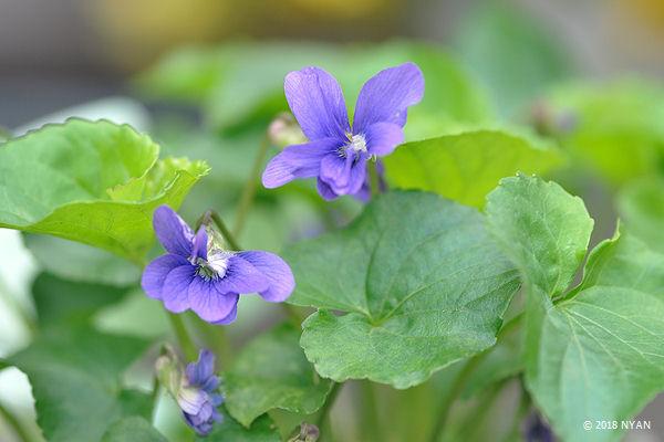 ヴィオラ・ソロリア 'パピリオナケア'(八重咲き)