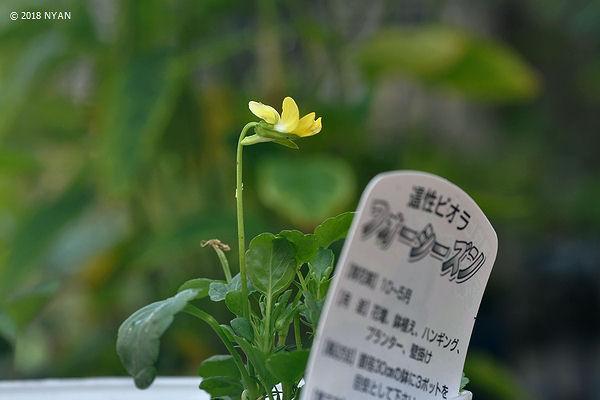 ガーデン・パンジー