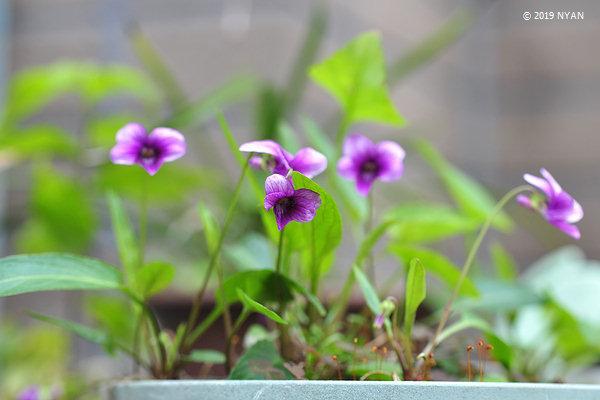 スミレ(濃紫)