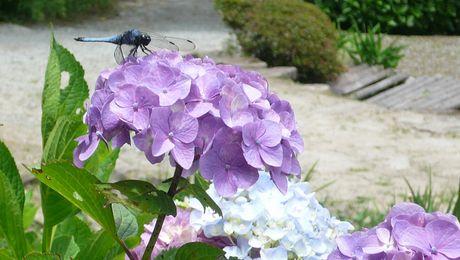 紫陽花と塩辛蜻蛉.jpg