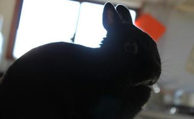 逆光ウサギ