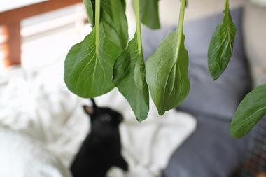 風が当たる小松菜