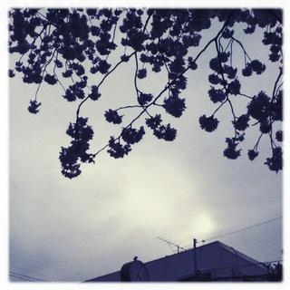 逆光の桜たち