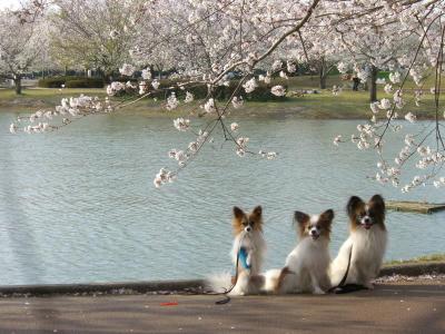 3兄弟と桜