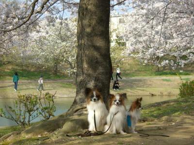 3兄弟と桜2