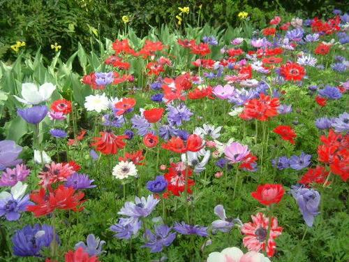 i-ha3-anemone5-f.jpg