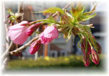 桜 盆栽 2