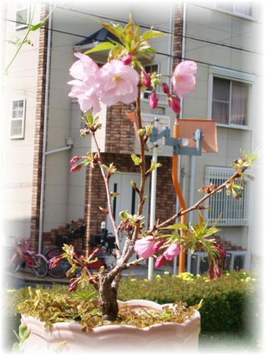 桜 盆栽 1