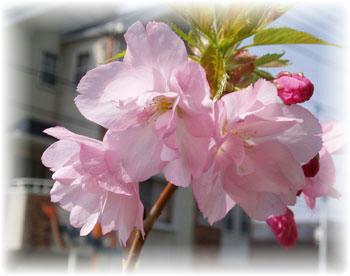 桜 盆栽 3