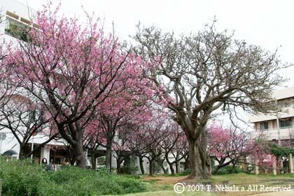 牧志公園の桜