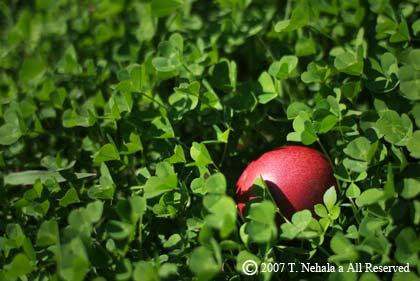 芝生の中の赤い実