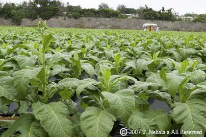 葉タバコ畑