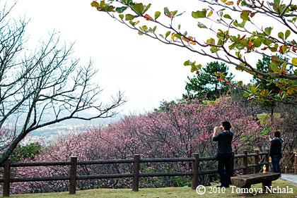 桜(名護城址公園)