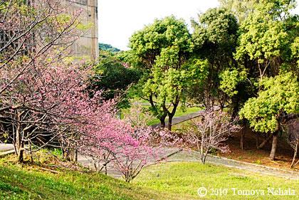沖縄桜 in  八重島公園