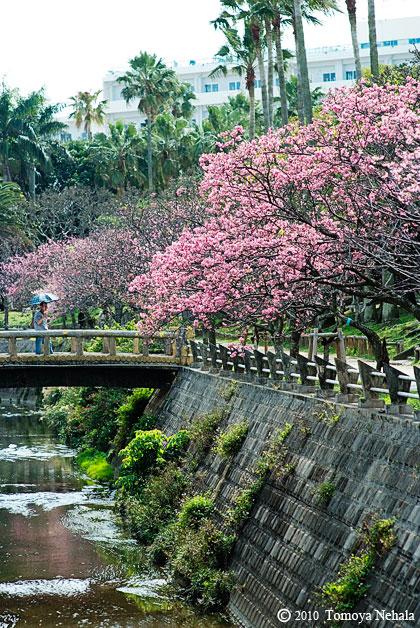 沖縄桜 in 与儀公園