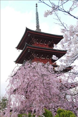 しだれ桜と五重塔