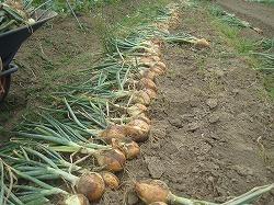 玉ねぎの収穫。