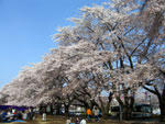 桜 - 其の二