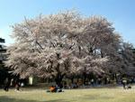 桜 - 其の一