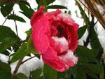 冬牡丹 - 其の一