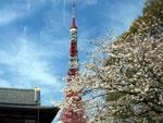 桜と東京タワー - 昼
