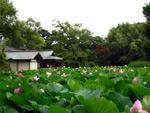 鶴岡八幡宮の蓮園