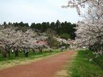 小岩井農場の桜並木