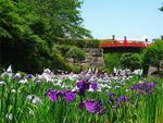 小田原城址公園の花菖蒲