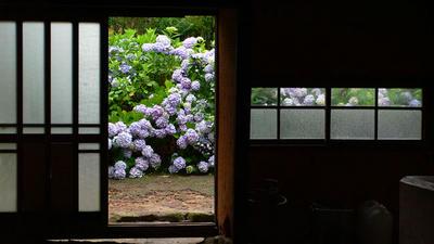 古民家から紫陽花