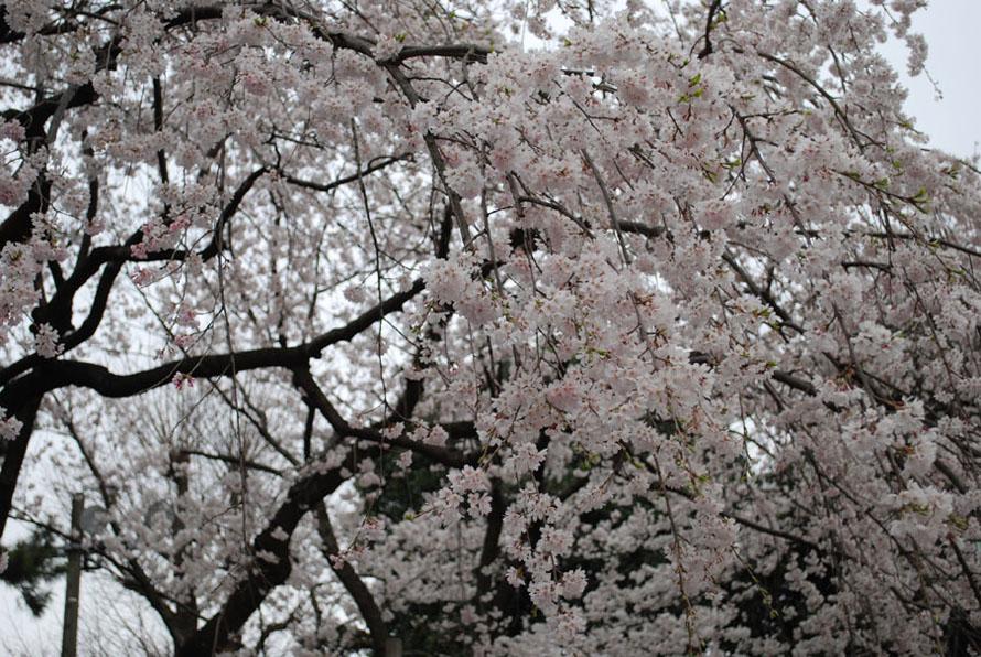 sakuraa.jpg