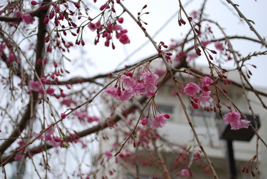 pinksakura.JPG
