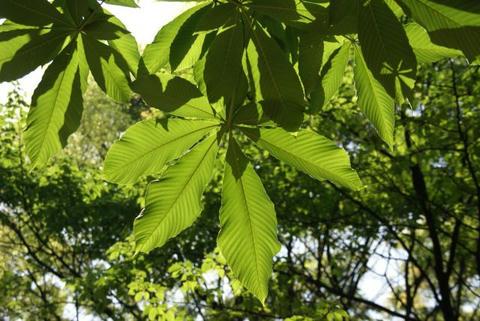 栃の葉の日傘