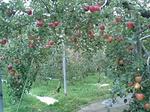 りんごトンネル