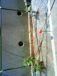 大玉トマトとミニトマト