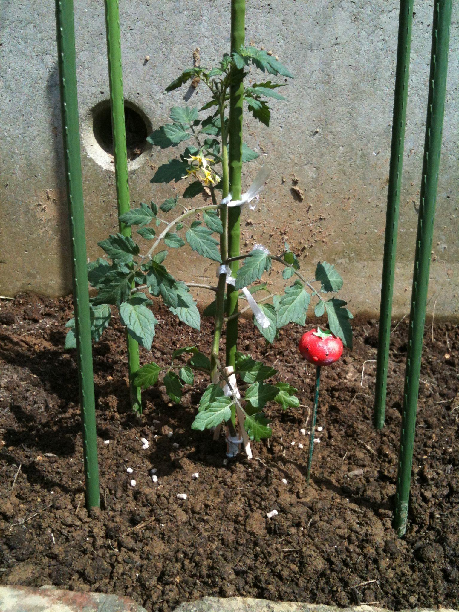 接合部て折れた接木のトマトの苗