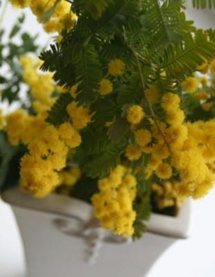mimosa01.jpg