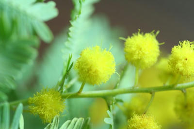 mimosa04.jpg