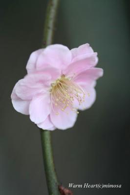 shidareume01-1.jpg