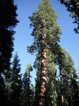giantsequoia01.jpg