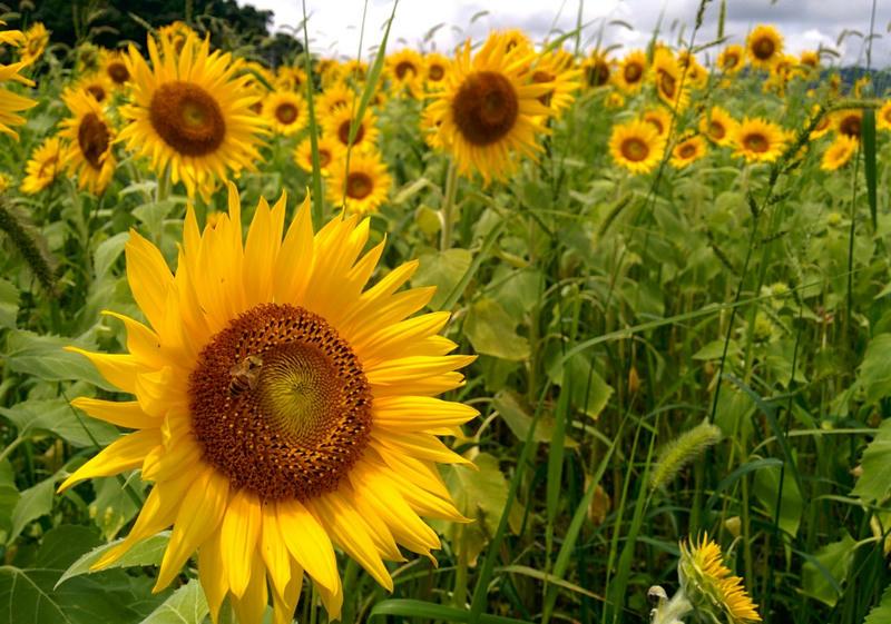 高知県土佐市にあるひまわり畑に行ってみた