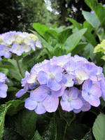 紫陽花090624-2