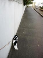 チワチンの散歩