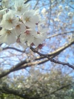 桜きれいでした。