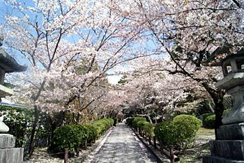 寧々の道の桜!