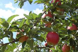 りんごの国