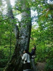 奥入瀬渓流の大きな木